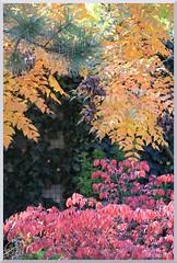 Autumn in my garden (ottilia dozsa) Tags: myflowers idezet citation aurelius marcusaurelius euonymusalatus koelreuteriapaniculata kecskerago csorgofa