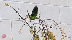Elle est considérée comme une espèce invasive (mamnic47 - Over 11 millions views.Thks!) Tags: canon70200mm 12112019 perruchesàcollier oiseaux 6c8a7625 vol automne érable
