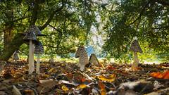Familie Specht Tintling (KaAuenwasser) Tags: spechttintlinge pilze pilz gruppe anzahl natur herbst licht schatten november schlossgarten