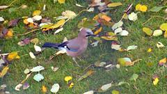 Jay / Eichelhäher (Teresa (be there...)) Tags: vogel bird jay eichelhäher