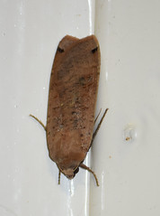Mariposilla nocturna en casa (esta_ahi) Tags: casa mariposilla polilla moth lepidoptera insectos fauna penedès barcelona spain españa испания