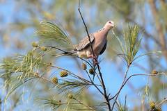 Spotted Dove (proy21) Tags: bird jamunadighi bengal burdwan nikon d3300 tamron100400 nature spotteddove dove