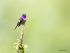 Purple-throated Woodstar (Calliphlox mitchellii) (Jorge Chinchilla A.) Tags: fincalaconchita km18 losandes colombia suramérica purplethroated woodstar calliphlox mitchellii jorgechinchilla avesdecolombia colombiabirds birds birdwatcher birdphoto neotropicalbirds ngc