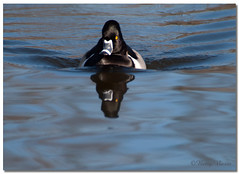 Ring-necked Duck (Betty Vlasiu) Tags: ringnecked duck aythya collaris bird nature wildlife