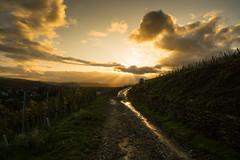 Liquid gold (Black&Light Streetphotographie) Tags: landschaft landscape sonya7rii sony sky himmel wineyard weinberg moselle rivervalley mosellevalley dof depthoffield wow