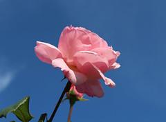 Καλημέρα! ~ Good morning! :-) (Argyro Poursanidou) Tags: nature colorful pink flower flora rose φύση λουλούδι τριαντάφυλλο