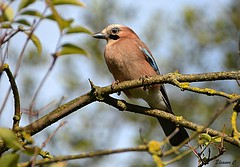 Eurasian Jay (Eleanor (Very busy)) Tags: bird jay eurasianjay tree kensingtongardens london england nikond7100 november2019