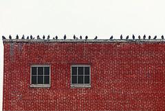 Today's Lineup (Ian Sane) Tags: ian sane images todayslineup brick wall windows pigeons downtown salem oregon urban photography windowwednesday canon eos 5ds r camera ef100400mm f4556l is usm lens