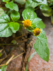 Spilanthes acmella (L.) L. Asteraceae - ear-stud flower, ผัดคราด 2e (SierraSunrise) Tags: thailand isaan esarn phonphisai nongkhai nanang plants flowers yellow asteraceae compositae