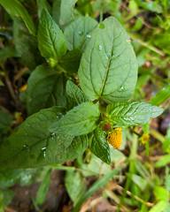 Spilanthes acmella (L.) L. Asteraceae - ear-stud flower, ผัดคราด 3e (SierraSunrise) Tags: thailand isaan esarn phonphisai nongkhai nanang plants flowers yellow asteraceae compositae