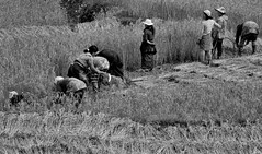 Rice Harvest (ROSS HONG KONG) Tags: rice worker workers harvest harvesters picking threshing field paro bhutan black white blackandwhite bw leica m8 noctilux 50mm 095 noir blanc monochrome