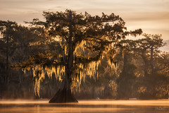 Tapestry of Moss (Hilton Chen) Tags: atchafalayabasin autumn backlight bayou fog landscape louisiana mistymorning mossy spanishmoss sunrise swamp treetrunks