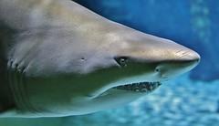 Hai - Shark (Hugo von Schreck) Tags: hugovonschreck shark hai fish fisch ngc yourbestoftoday canoneos5dsr tamronsp35mmf18divcusdf012