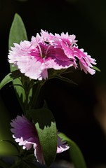 Sweet William (Padmacara) Tags: d7100 tamron28300 shadowlight plant flower closeup