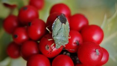Shield bug on holly berries (Oliver (Wolbadger)) Tags: macro shieldbug holly berries nature insect green red outside ricohgr apsc cmos 28mm compact ricoh gr lancashire preston england uk unitedkingdom wildlife autumn october fall