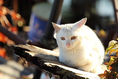 Stray cat (Teruhide Tomori) Tags: straycat animal cat island japan japon omihachiman shiga okishima 沖島 近江八幡 琵琶湖 野良猫 日本 滋賀県
