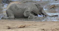 Love rolling in the Mud!  ( Baby elephant / baba olifant ) (Pixi2011) Tags: elephants krugernationalpark southafrica africa wildlifeafrica big5 wildanimals animals nature coth coth5