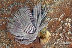 Sabellastarte - Tubeworm - Röhrenwurm (chk.photo) Tags: ocean nature naturewatcher outdoor tauchen animal underwater water indonesien natur makro indonesia naturemasterclass sulawesi dive light ngc diving macro scuba