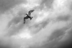 Seagull (Anette Espolin Storo Dahl) Tags: mono sorthvitt fugl himmel skyer måke fly seagull cloud sky bird bw