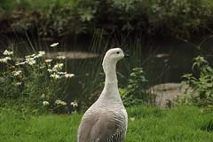 Magellan goose (male), WWT Slimbridge, UK (inyathi) Tags: uk england gloucestershire wwt slimbridge wildfowlandwetlandstrust wildfowl waterfowl birds geese goose magellangoose uplandgoose chloephagapictapicta