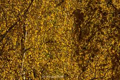 Golden autumn (Grzesiek.) Tags: autumn fall jesień tree leaves leaf liście birch brzoza