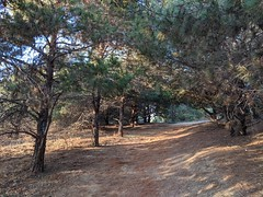 Into the Pines (Kelson) Tags: hahnpark losangeles hiking california pines trees nature