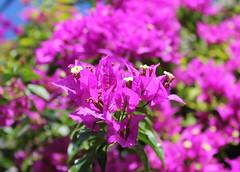 Give me colors! (Argyro Poursanidou) Tags: nature colorful pink flower flora bougainvillea φύση λουλούδι βουκαμβίλια