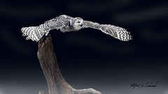 Snowy Owl_T3W2874 (Alfred J. Lockwood Photography) Tags: alfredjlockwood nature raptor snowyowl birdsinflight birdsofprey takeoff launch crc canadianraptorconservancy ontario canada