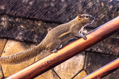 Tiny little native squirrel running up a handrail (stewart.watsonnz) Tags: animal wildlife squirrel mammal rodent wood snout little tail nature vertebrate groundsquirrels outdoor lizard wooden noperson terrestrialanimal sitting outdoors foxsquirrel bench eating small food brown lemur cute organism bird eye whiskers hardwood hair adaptation hand plant close label fur black pet wild perched cookie tree park weasel portrait