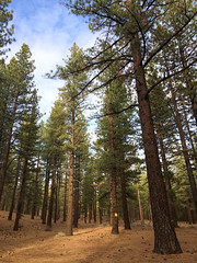 Camping Area Trees (Toasto) Tags: trees tree camping tall nature pine pines