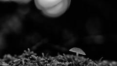 09112019-DSC_0038 (vidjanma) Tags: 1champi champignons flares nb
