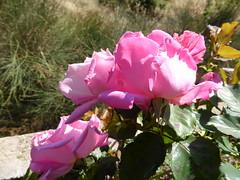 Φθινοπωρινά τριαντάφυλλα!! P1090721 (amalia_mar) Tags: φθινοπωρινάτριαντάφυλλα κήποσ φθινόπωρο ήλιοσ πτέρη ροζ πράσινο φύση λουλούδια roses flora flowers fiori fleur autumn garden sun fteri pink green nature colorfulnature pinkpurplewednesday