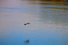 ombre sull'acqua (archgionni) Tags: fiume river po torino turin italy acqua water riflessi reflections onde waves uccello bird ombra shadow