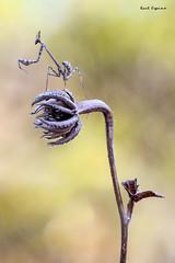 Empusa pennata (Raul Espino) Tags: 2019 canon100mml canon6dmarkii macrofotografia naturaleza sevilla empusapennata macro insectos