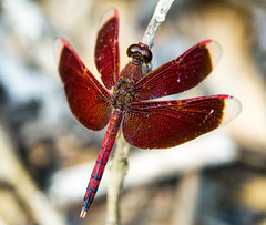 Red dragon (Lr Home) Tags: macro dragonfly insect dragonflies a6000 sel30m35 nature sonya6000 macrophotography