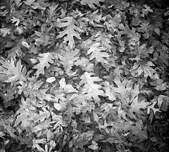 Frozen leaves (mkk707) Tags: film 35mmfilm analog zeissikontenaxii tessar zeissikonstyle vintagelens vintagefilmcamera blackwhite rangefinder leaves autumn 24x24 agfaapx100 wwwmeinfilmlabde