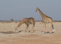 Giraffes - Giraffa camelopardalis (Gary Faulkner's wildlife photography) Tags: giraffe giraffacamelopardalis
