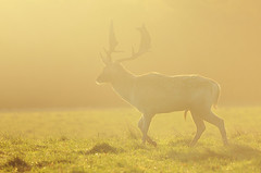 Buck in Golden Morning Light (andy_AHG) Tags: wildlife autumn stag fallowdeerbuck antlers animals nikond300s yorkshire ruttingseason
