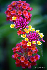 The spirit of Lantana by iezalel williams IMG_2901-003 (iezalel7williams) Tags: flora photography high light love wildflower beautiful flower lantana canoneos700d closeup nature natural wildplant photo plant pink yellow orange green beauty bokeh outdoor happy happylife lovely nice planetearth paradise spirit tropical garden thinkpositive thankyou