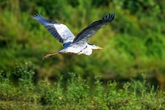 Blue Heron in flight (proy21) Tags: bird jamunadighi bengal burdwan nikon d3300 tamron100400 nature blueheron flyingbird