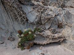 Lebenskünstler / master in the art of living (ludwigrudolf232) Tags: pflanze blüte lava gestein