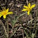 mountain dandelion, Agoseris parviflora