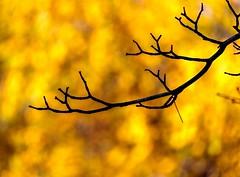 Bare (Karen_Chappell) Tags: autumn yellow bokeh branches tree nature nfld fall stjohns newfoundland canada atlanticcanada avalonpeninsula silhouette orange bright november color colour colourful