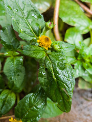 Spilanthes acmella (L.) L. Asteraceae - ear-stud flower, ผัดคราด 1e (SierraSunrise) Tags: thailand isaan esarn phonphisai nongkhai nanang plants flowers yellow asteraceae compositae