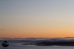 Pink-footed Goose (Anser brachyrhynchus)- 13 Nov-19-2989 (tim stenton www.TimtheWhale.com) Tags: anserbrachyrhynchus bird blackisle dolphinviewcottageshillockhead eathieroad flight goose highland morayfirth pinkfootedgoose rosemarkie scotland sunrise wildfowl winter hillockhead wwwhillockheadnet