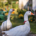 Close-up of Geese in the yard