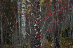 Autumn (Stefano Rugolo) Tags: stefanorugolo pentax k5 pentaxk5 smcpentaxm50mmf17 kmount autumn rowan trees forest birch manualfocuslens manualfocus manual vintagelens depthoffield bokeh sweden