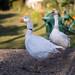 Geese being kept as pets