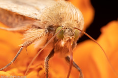 MOTH-ra (Brian M Hale) Tags: moth insect outside outdoors nature macro closeup close up tower hill botanic gaden boylston ma mass massachusetts newengland usa brian hale brianhalephoto