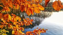 No sun needed! (Renate Bomm) Tags: golden autumnleaves autumn blätter water renatebomm huaweivtrl09 naturalize naturaleza natur overthetrees tree